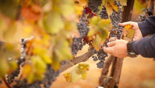 Você já ouviu falar em vinho orgânico?
