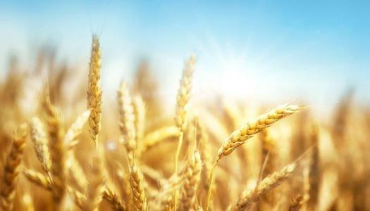 Tudo sobre o trigo: aprenda mais sobre esse alimento