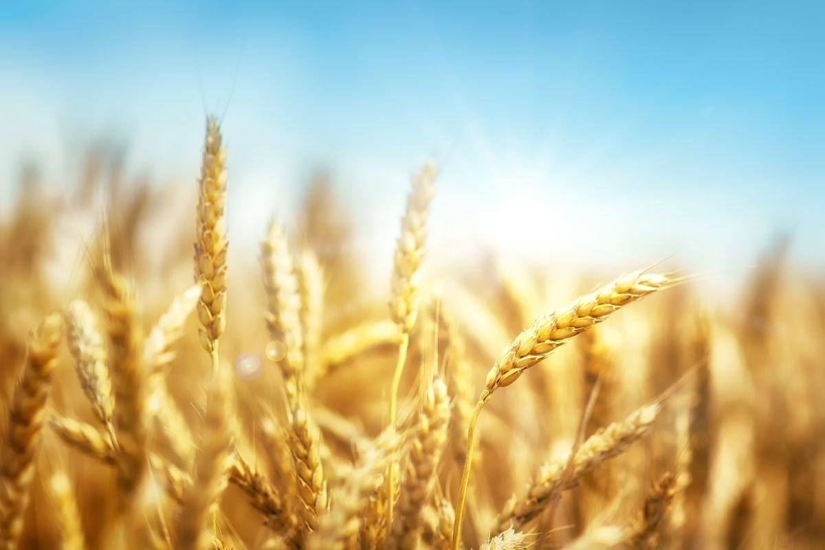 tudo sobre o trigo - capa