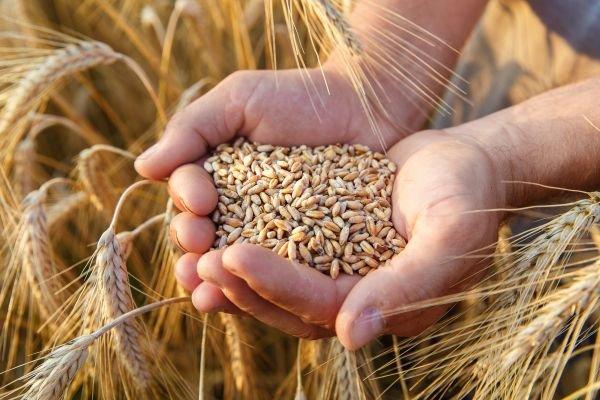 tudo sobre o trigo - grão