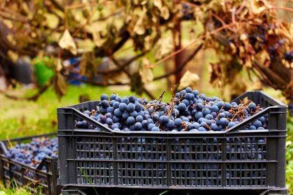 tomar um vinho - variedade