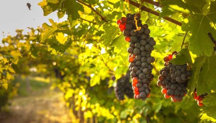 vinho primitivo - cepa