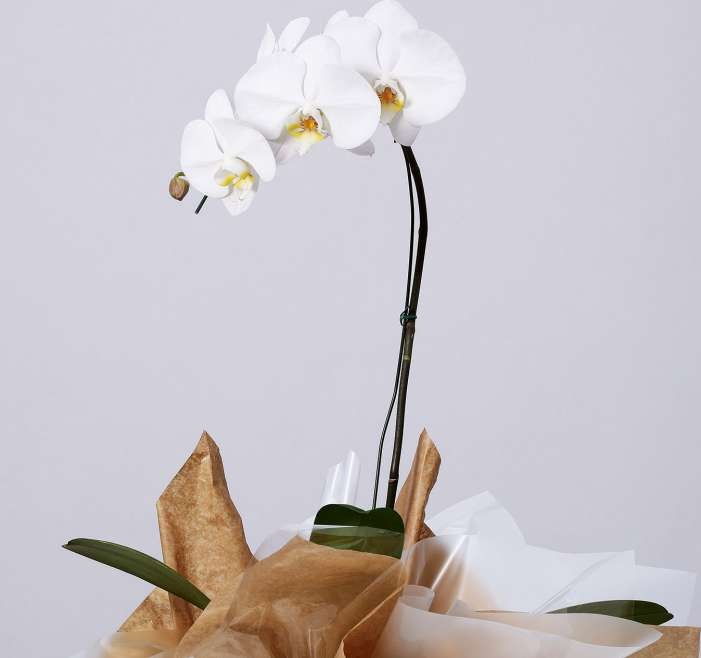 queridinhos do pão de açúcar - orquídeas