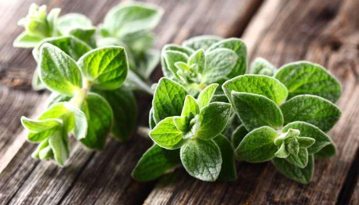 ervas aromáticas - orégano
