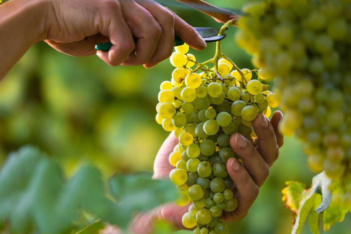 tipos de uvas brancas - capa