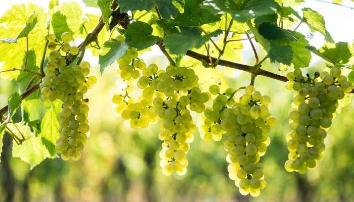 tipos de uvas brancas - texto 2