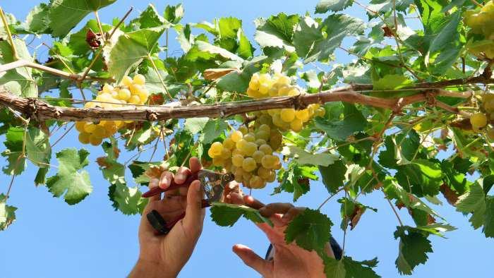 tipos de uvas brancas - texto