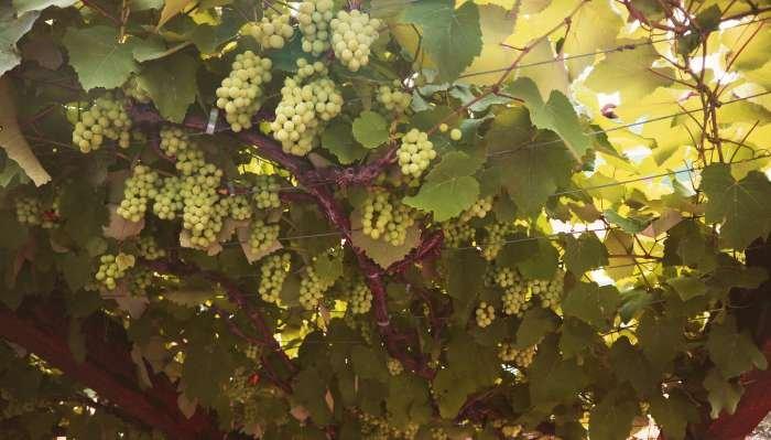 uvas para vinho - brancas