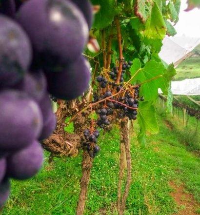 uvas para vinho brasil - capa