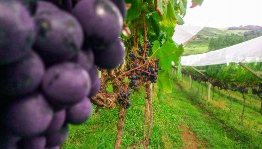 Quais são as uvas para vinho cultivadas no Brasil?
