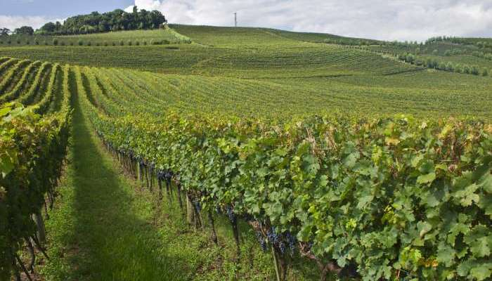 uvas para vinho - vinhedos