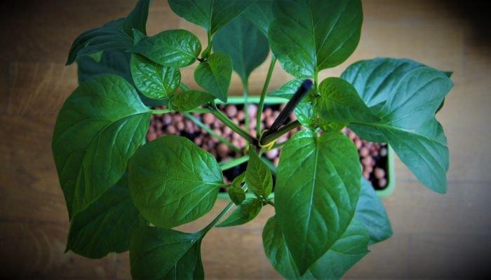 fazer um jardim vertical com temperos pimenta