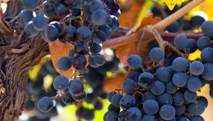 catena zapata uva