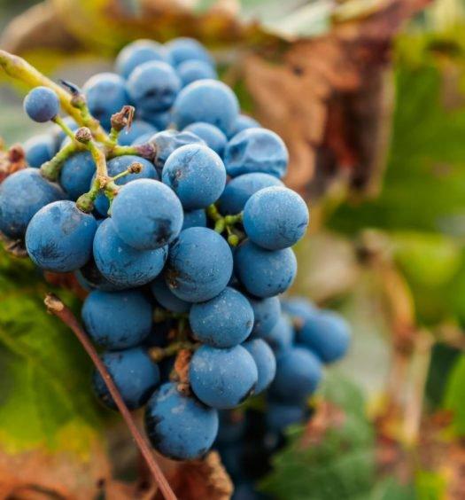 familia zuccardi uva