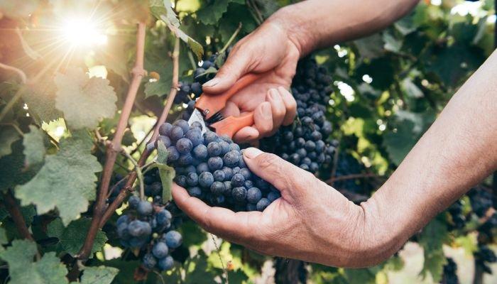 vinícola salton cultivo