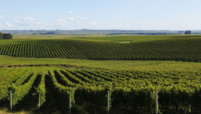 vinícola salton vinhedos