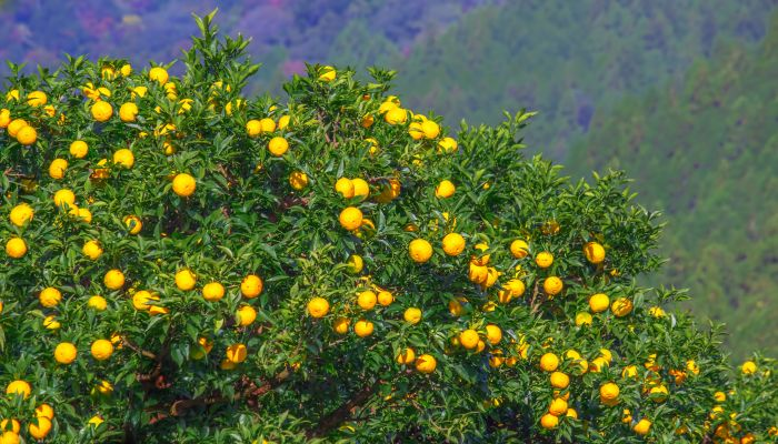 o que é yuzu árvore