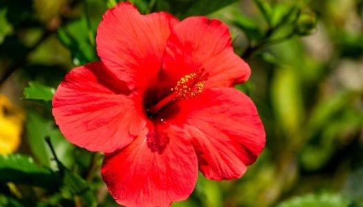O que é hibisco? Descubra tudo sobre essa planta colorida