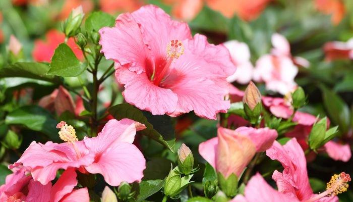 o que é hibisco rosa
