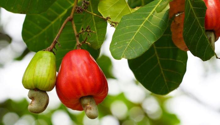 frutas cítricas caju