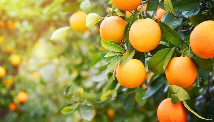 frutas cítricas laranja