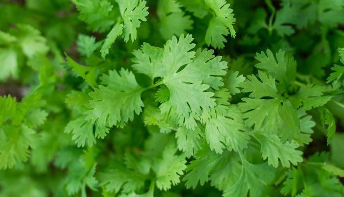 coentro folhas