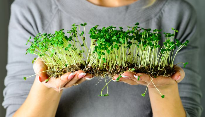 coentro planta