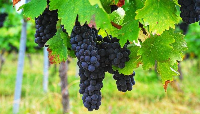 lambrusco uva