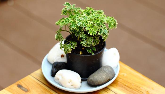 plantas para a casa árvore-da-felicidade