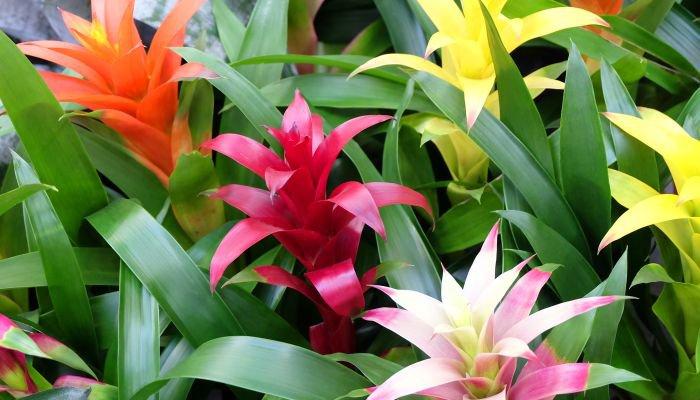 plantas para a casa bromélia