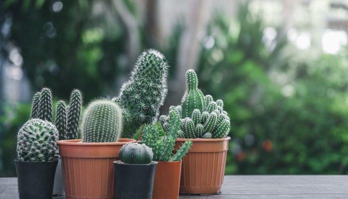 plantas para a casa cacto