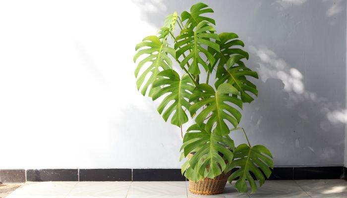 plantas para a casa costela-de-Adão