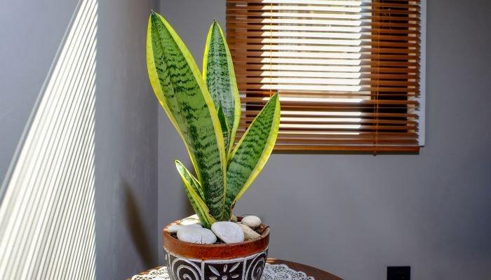 plantas para a casa espada-de-São-Jorge