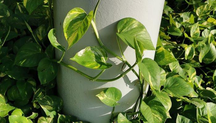 plantas para a casa jiboia