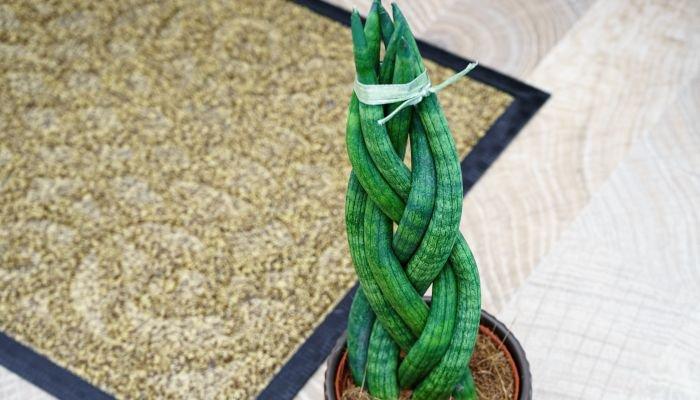 plantas para a casa lança-de-São-Jorge