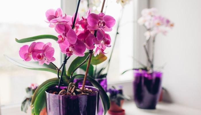 plantas para a casa orquídea