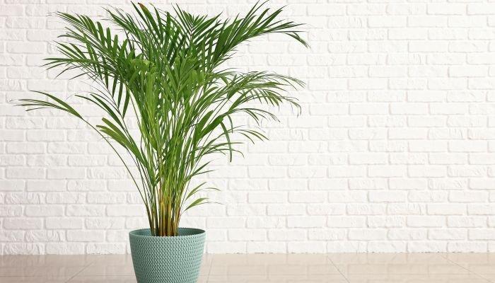 plantas para a casa palmeira-areca