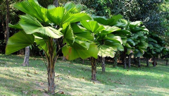plantas para a casa palmeira-leque