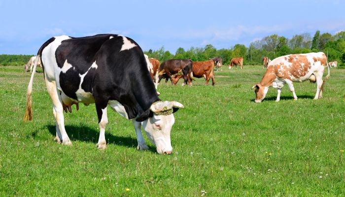 bem-estar animal bovino
