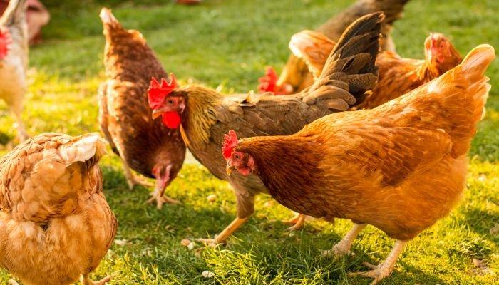 bem-estar animal frango
