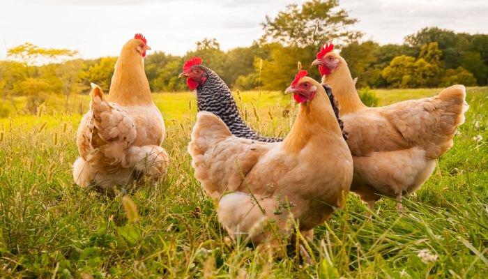 bem-estar animal ovos